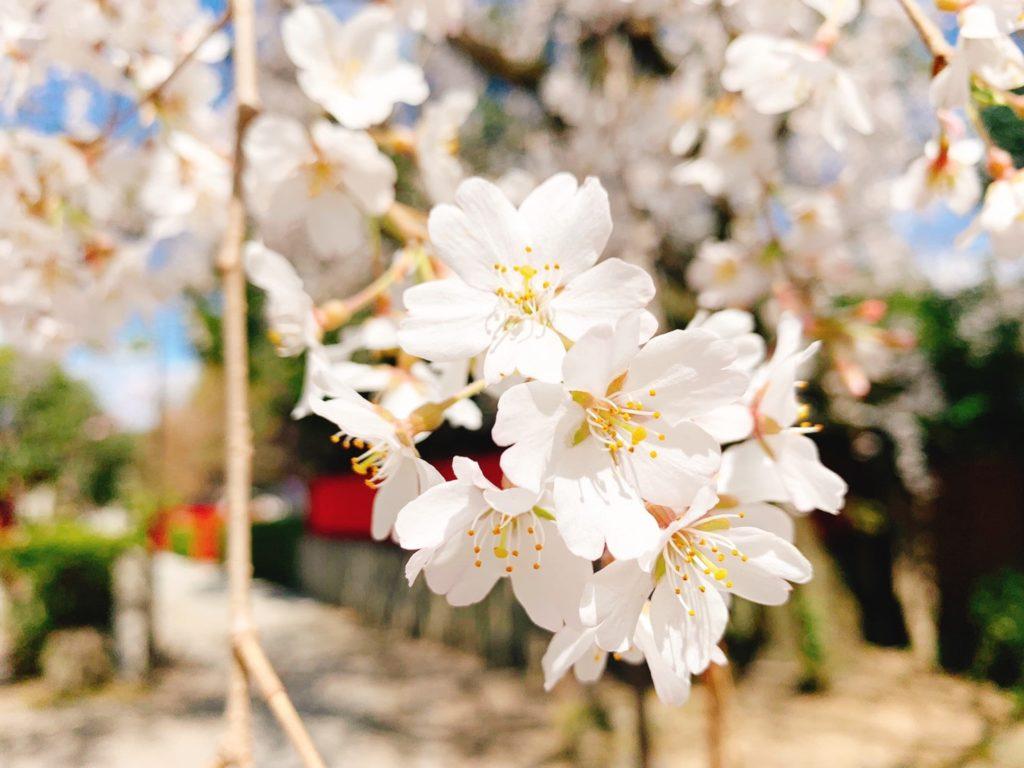 車折神社 桜 開花 見頃 種類 渓仙桜