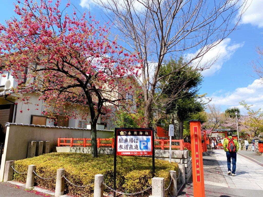 車折神社 桜 開花 見頃 種類 寒緋桜