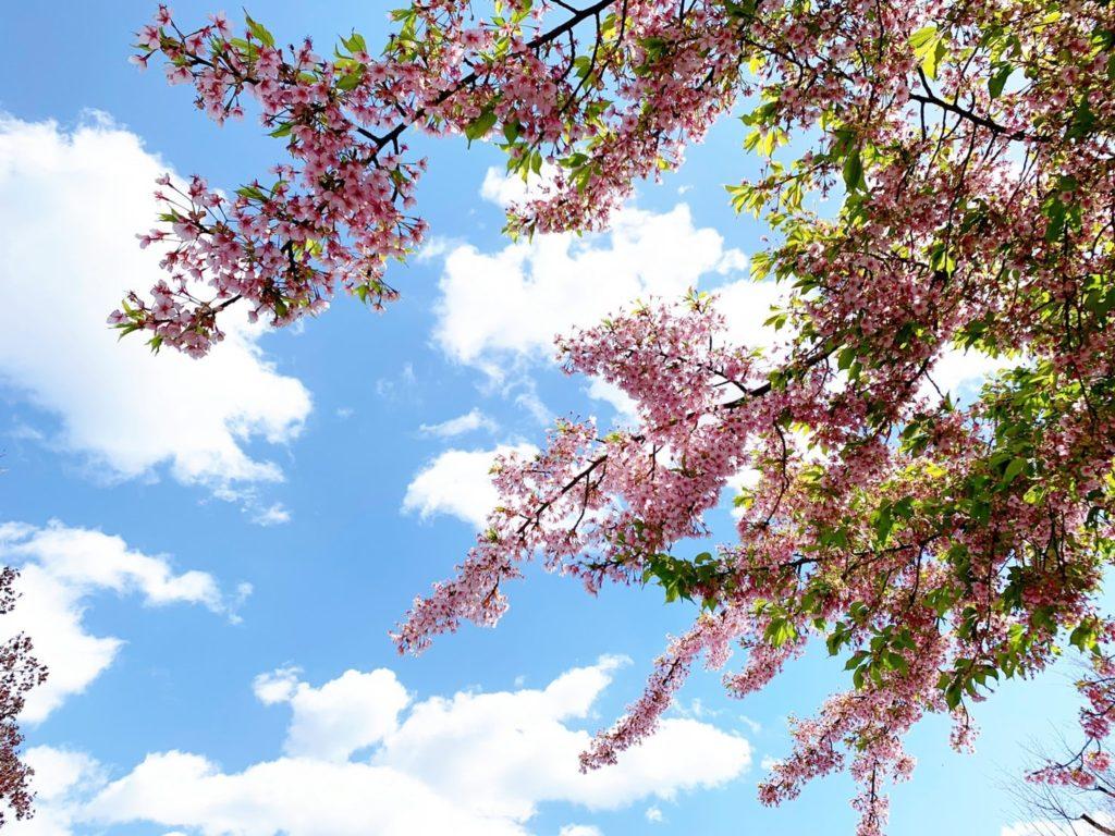 車折神社 桜 開花 見頃 種類 河津桜