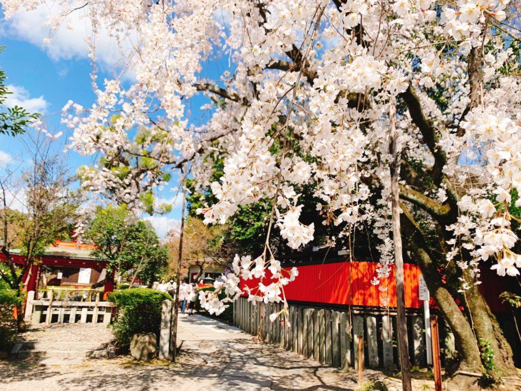 京都・車折神社は桜の名所!?2020年の見頃・開花状況は?桜の種類も紹介!