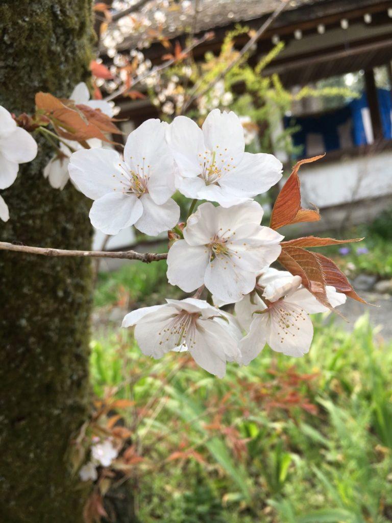 平野神社 桜 種類 嵐山