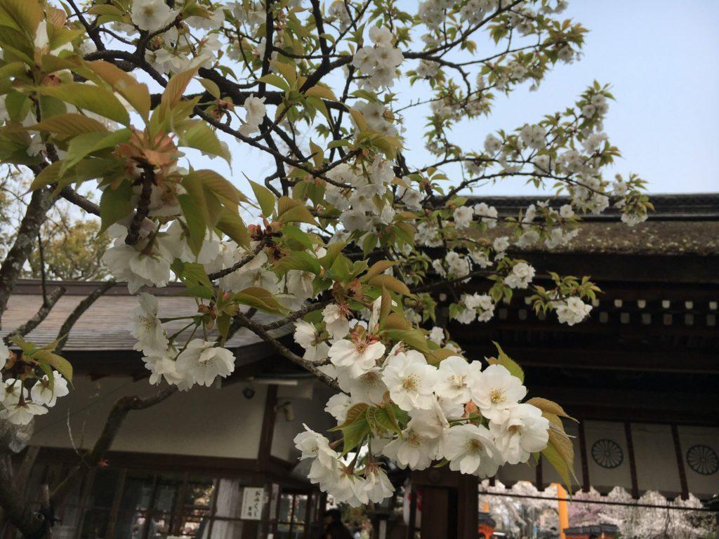 平野神社 寝覚め桜 種類 桜