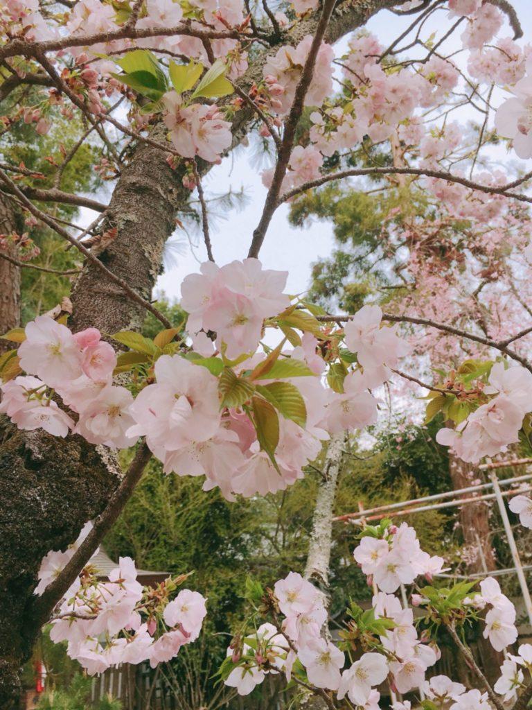 平野神社 桜 種類 胡蝶桜