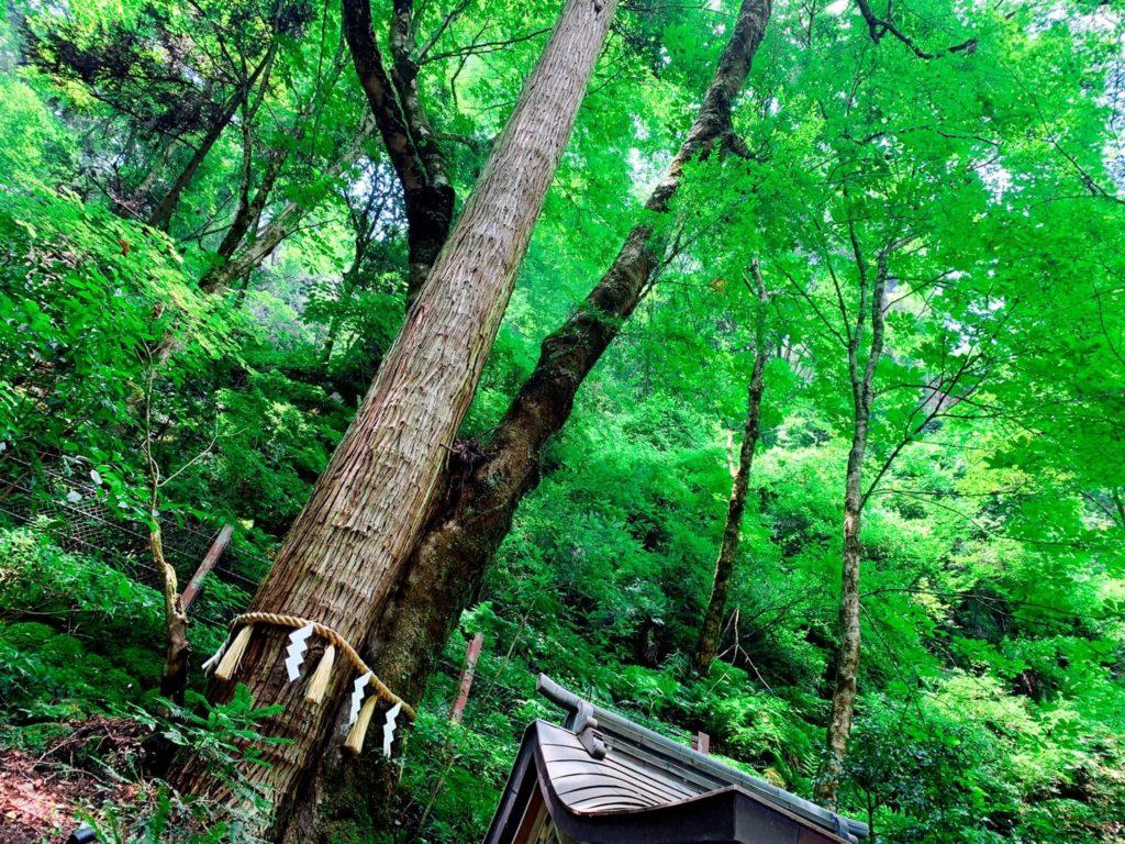 貴船神社 連理の杉