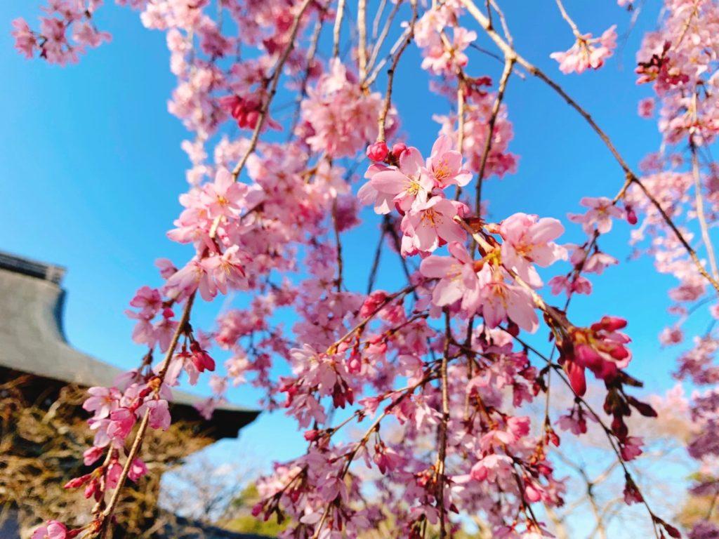 嵐山 天龍寺 しだれ桜 庭園