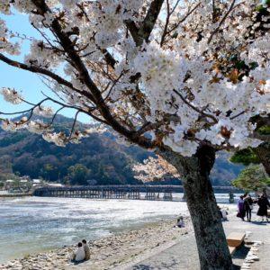 京都嵐山の2020年の桜の見頃・開花情報(開花状況)は?おすすめの桜名所・穴場を紹介!