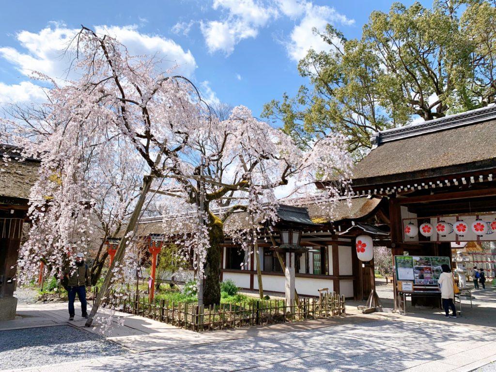 平野神社 桜 開花状況 見頃 魁桜