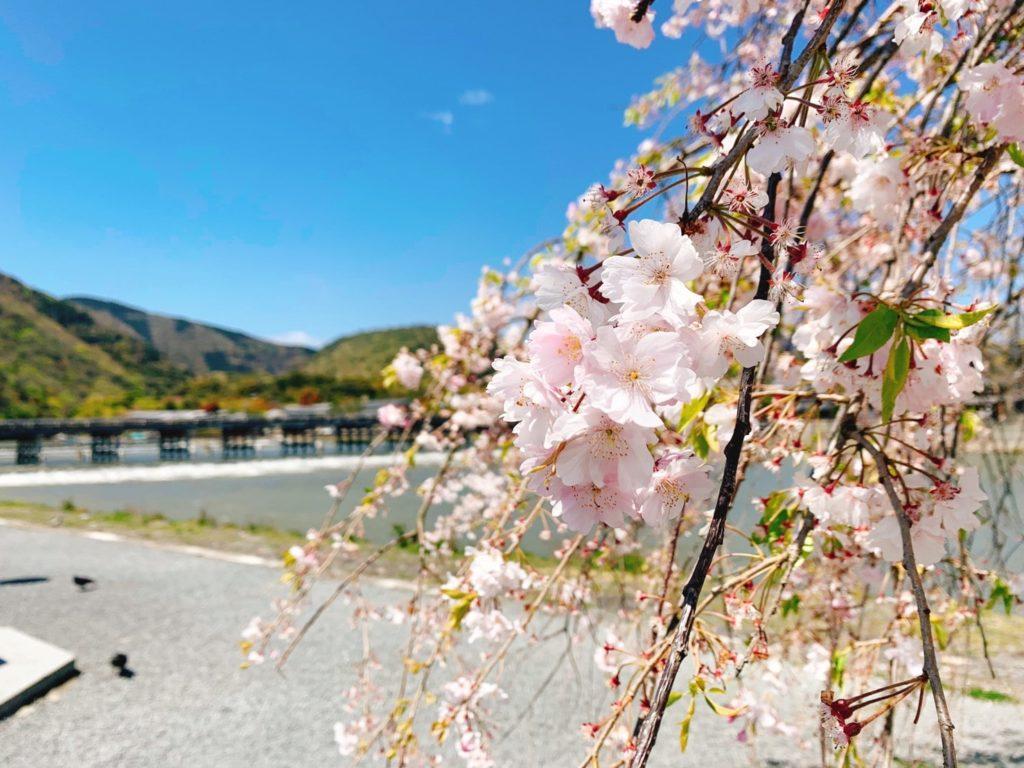 嵐山 桜 開花 見頃