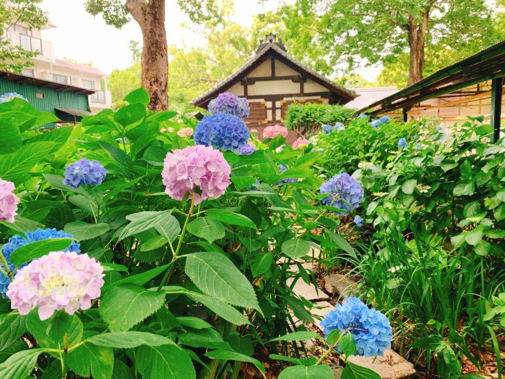 京都・藤森神社の紫陽花の2020年の見頃と開花状況は?紫陽花まつり・紫陽花苑の公開期間・時間も紹介!