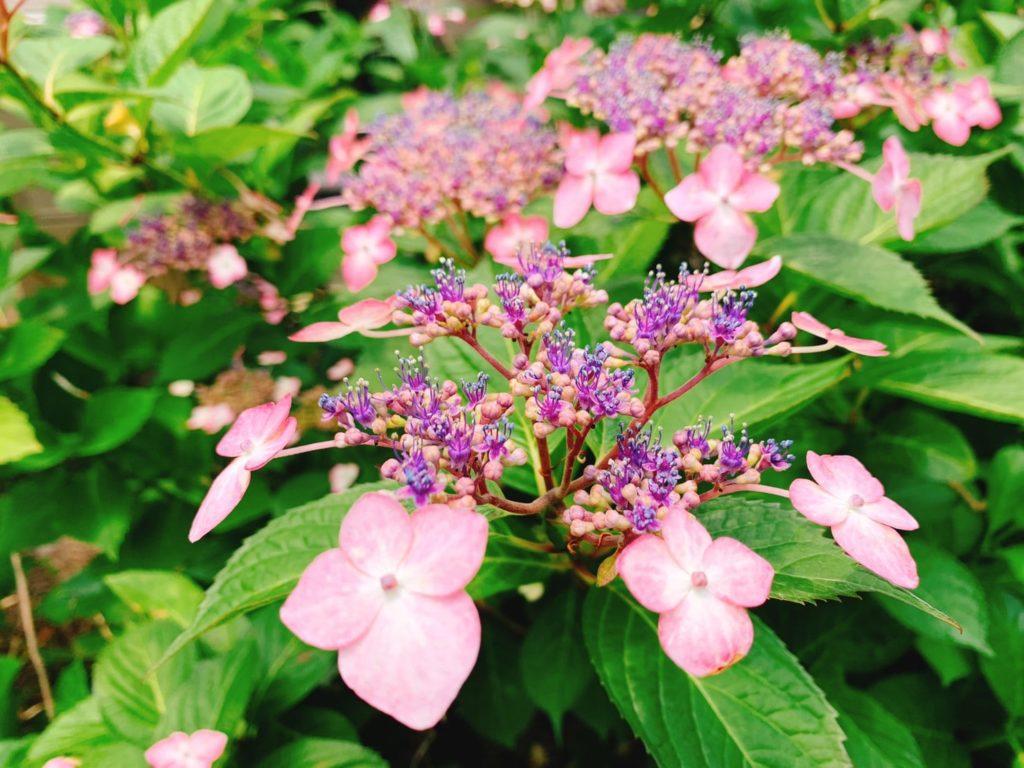 両性花の周りを装飾花が額縁のように囲って咲くことから、その名前が付けられています。